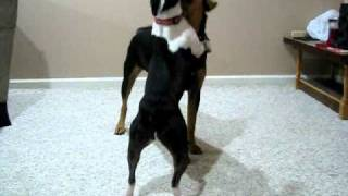 Boston Terrier And Rottweiler Mix Play