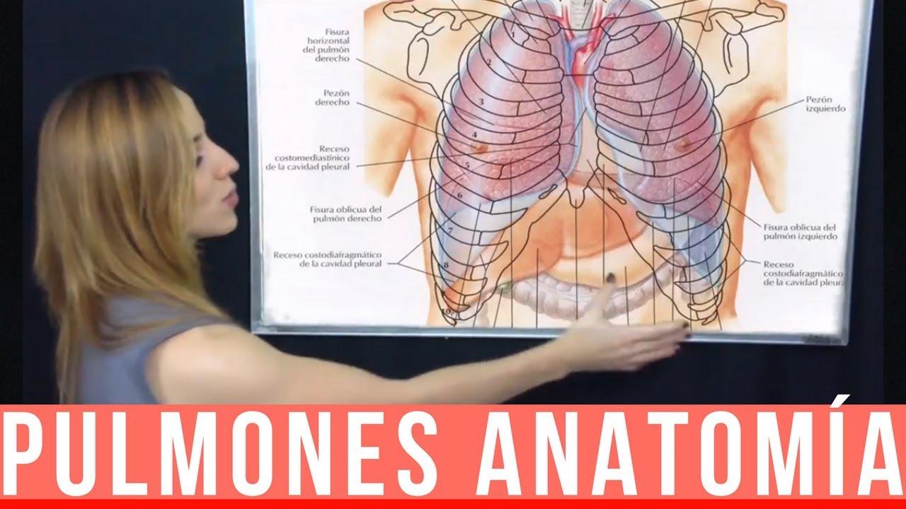 PULMONES ANATOMÍA - Lóbulos, caras, pedículo pulmonar, bordes ...