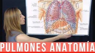 PULMONES ANATOMÍA - Lóbulos, caras, pedículo pulmonar, bordes, vascularización