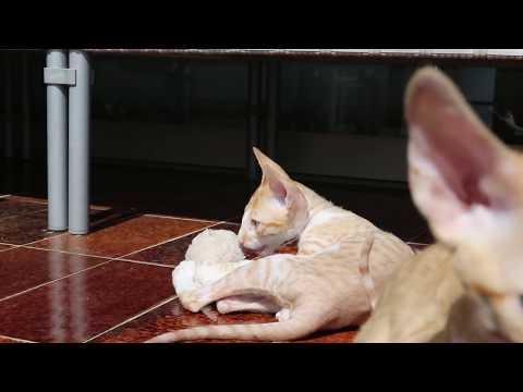 Katze Cornish Rex Kittenszeit