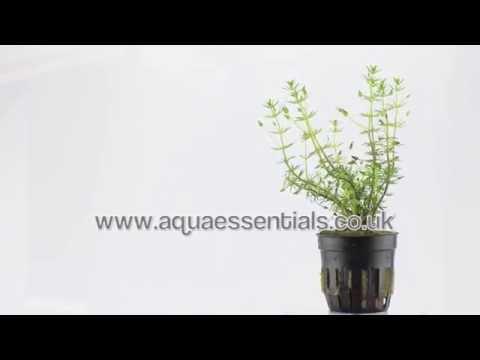 Aquarium Plant Bacopa myriophylloides - an unusual stem plant