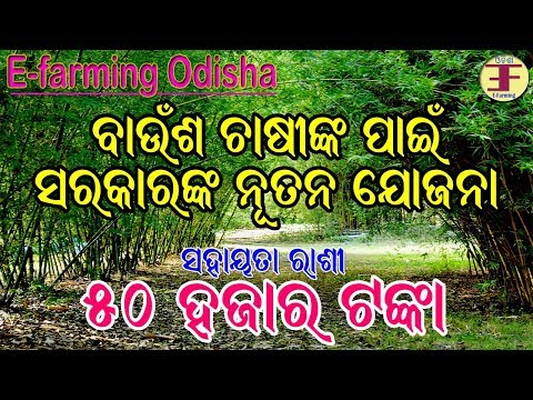 Govt of odisha new scheme for Bamboo farming(Bamboo farming in Odisha).