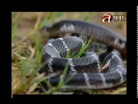 Death rates increase due to snake bite in Terai regions