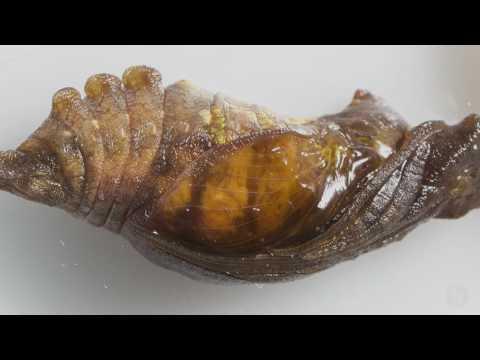 Watch researchers modify caterpillars, revealing wing development inside cocoons