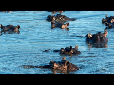 Pablo Escobar's hippos threatening Colombian residents
