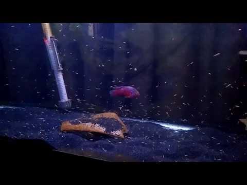 Red Jewel Cichlids update also...F1s Red Devils Labiatus
