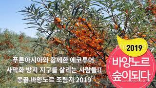 몽골  바양노르 비타민나무 숲이 되다 / 몽골 비타민나…