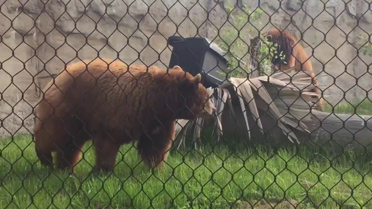 Testing A Bear-Resistant Trash Can