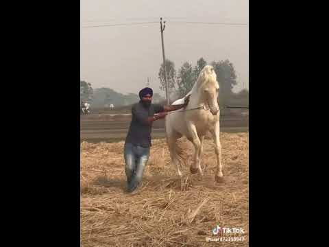 Punjab nukra stallion energy