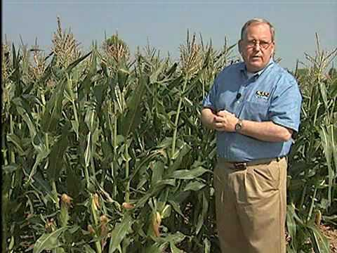 Tips for Growing Corn