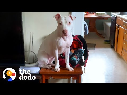 Rescue Pittie Shows Her Foster Sister How To Get Up On The Table | The Dodo Pittie Nation