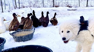 My Farm Dog Shot This Video (Puppy and Ducks)