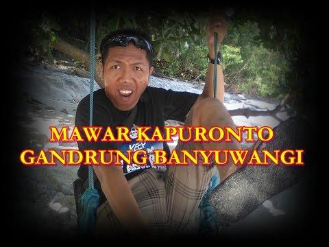 MAWAR KAPURONTO Gandrung Banyuwangi By Mas Say Laros Pesanggaran