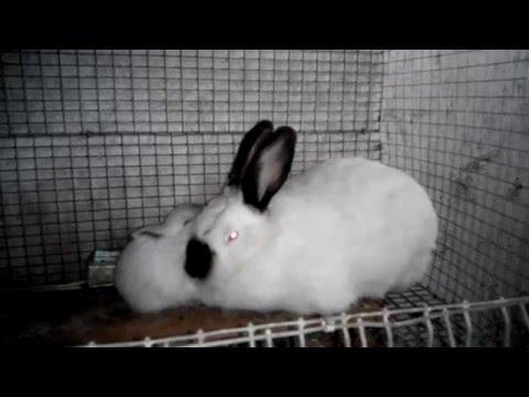 Холостая беременность крольчих.