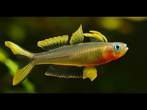 Pseudomugil Furcatus / Forktail Blue-eye HD
