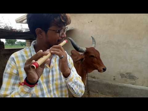 Music effect on cow