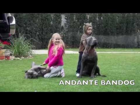 "andante-bandog-""child-´s-best-friend""-(andante-bandog-kennels)"
