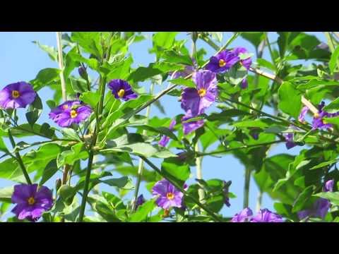 Паслён Рантоннети -Solanum rantonnetiiКирьят-Ям.Израиль.