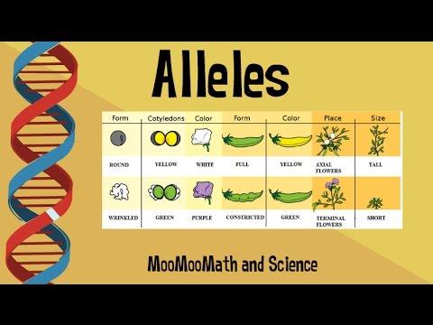 alleles vs gene youtube