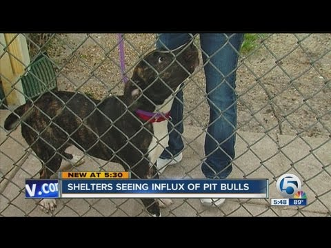 Shelters seeing influx of pit bulls