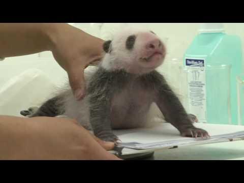 Pairi Daiza (Belgium)- Panda cub is one month old!