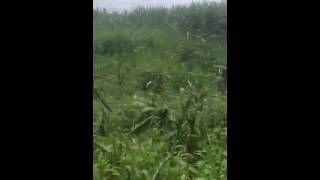 Severe crop damage in Sussex County Delaware