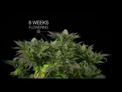 White Widow feminized marijuana strain by Dinafem Seeds 4K