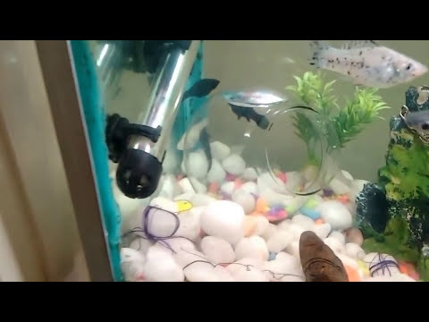 Shark fish mollies fish youtube for Shark fish tank