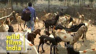 Goat market of Sonepur Cattle Fair in India's state of Bihar