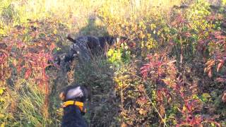 Deutsch Drahthaar Hunting Dog Training Www.brac-german.com