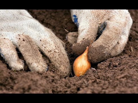 Всегда сажайте лук с осени и вот почему! Преимущества и недостатки посадки лука под зиму!