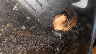 Introducing The Giant Millipede