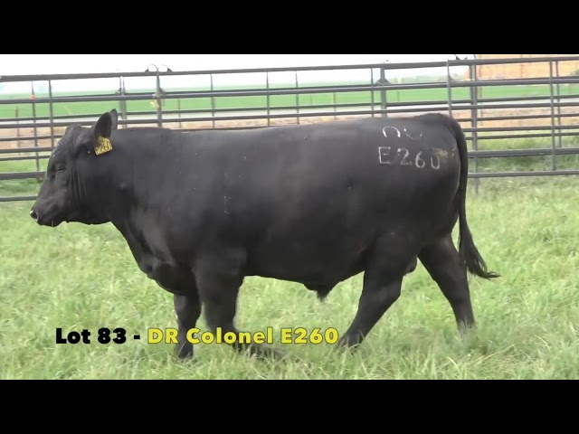 Black Gold Bull Sale Lot 83