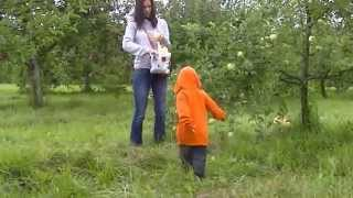apple picking in maine/ usa/ randel farm sep 13th 2015