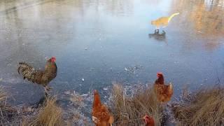 なんで今日は水がないのかしら?凍り付いた池で遊ぶ猫とニワトリのいる風景