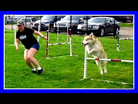 HUSKY SHELBY DOES AGILITY | Wordless Wednesday #Dogs