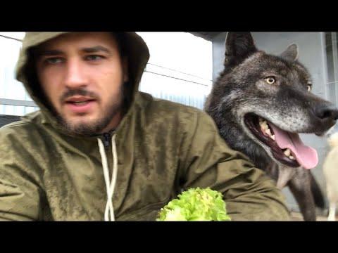Волк вегетарианец, Канадский волк Акела, пробует зелень. Северный волк , крупный волк, Волк на Ямале