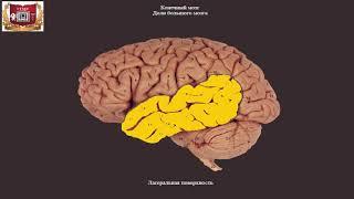 Обзор головного мозга человека