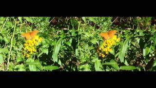 California Butterfly 3D Stereo Closeup