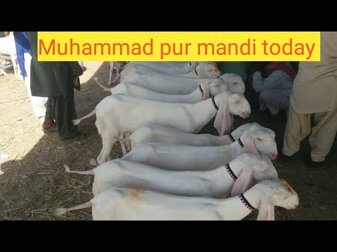 Muhammad pur mandi today visit in rajanpur 2018-19 urdu hindi