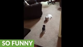 Tiny piglet plays with doggy best friend