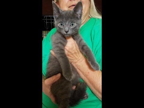 Frankie, Russian Blue rescue kitten