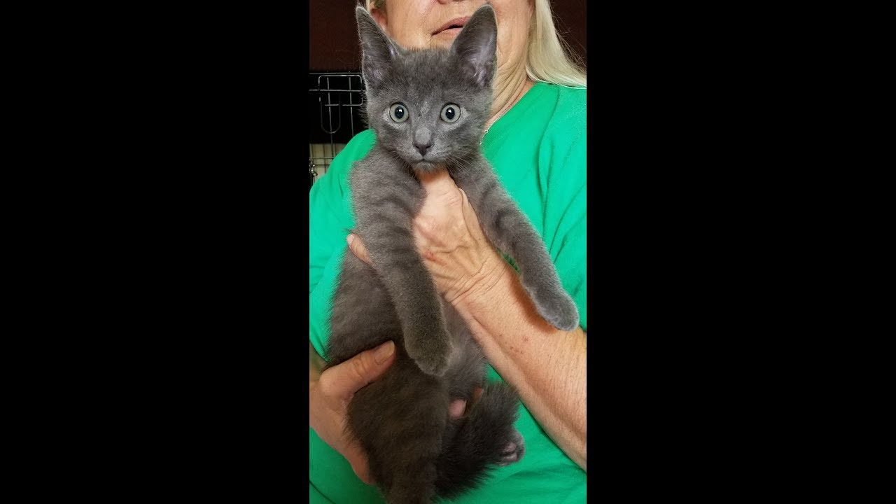 Frankie Russian Blue rescue kitten