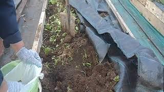пересадка мелкоплодной земляники на грядку с  покрытием нетканным материалом