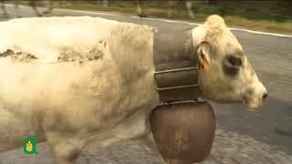 Caluma el vache - Il Ritorno della mandria a valle (17 ottobre 2018)