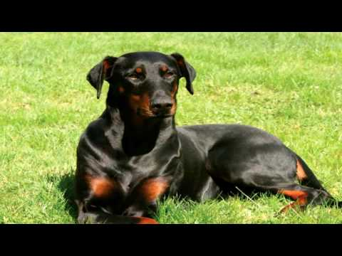Doberman Pinscher Deworming