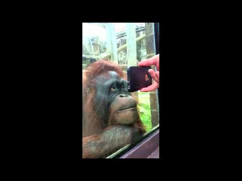 Orangutan watches a YouTube video of orangutans and loves it