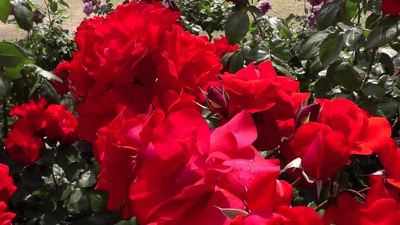 The best varieties of park roses for the Moscow region 52