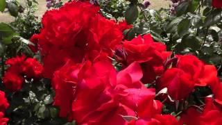 The many types of roses at Kayoichou Park, Japan