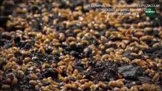 LA GERMINACION... INCREIBLEMENTE ESPECTACULAR... TECHNOLOGY FARMING 2019